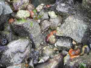 Sea cucumbers and whelks in clam garden wall. Photo: Nicole F. Smith.